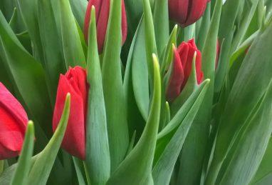 Tulpe Delta Red