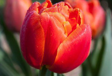 Tulpe Icoon