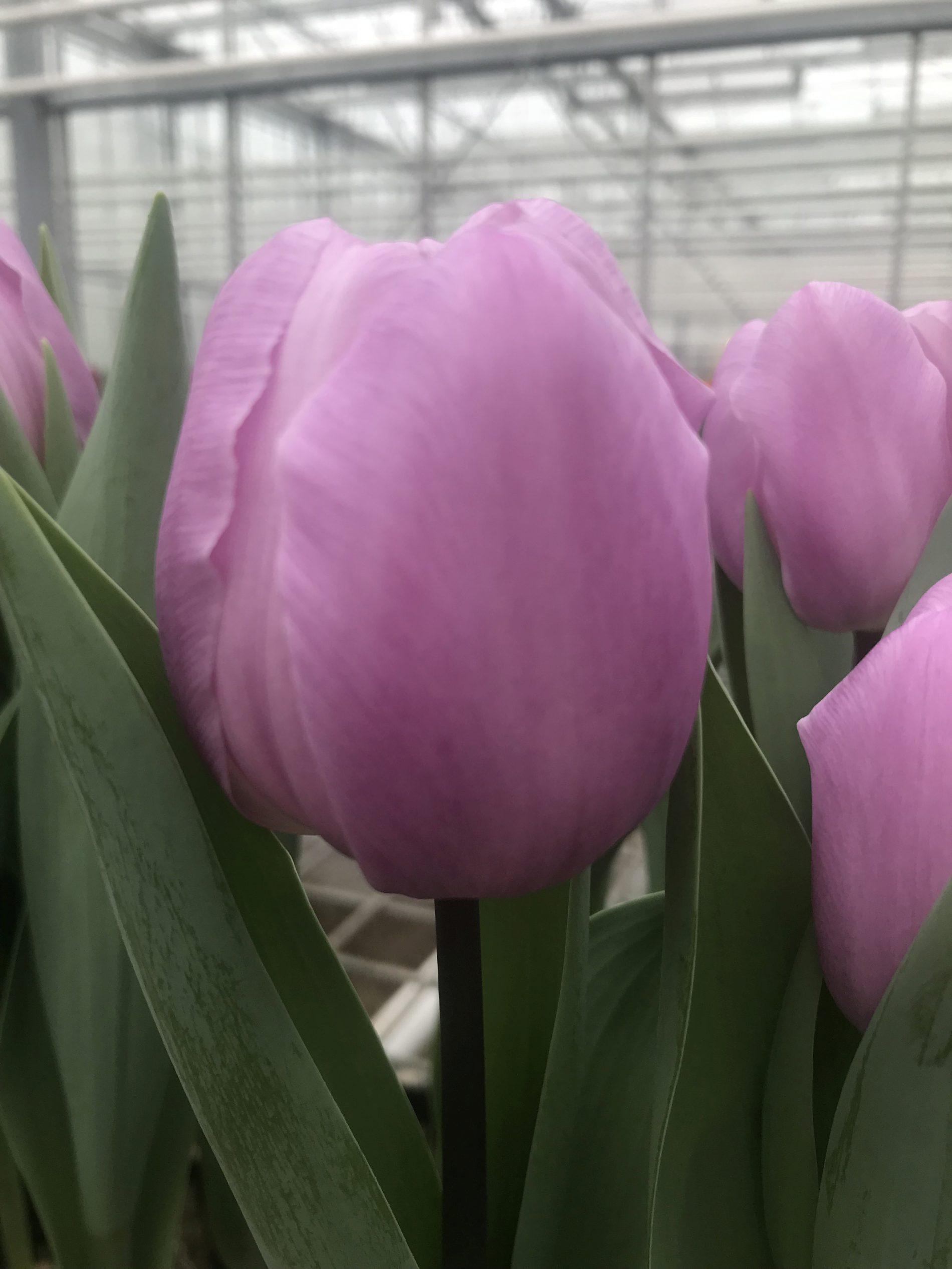 tulpenzwiebeln kaufen lilienblütige