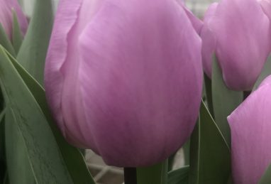 Tulpe Paradero