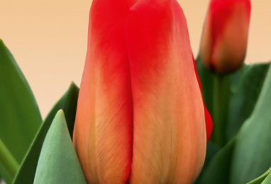 Tulpe Lalibela