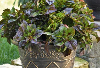 Celosia argentea Sol Gekko Green