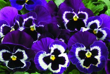 Carneval F1 Violet Face
