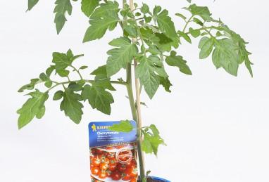 Cherrytomate Philovita F1