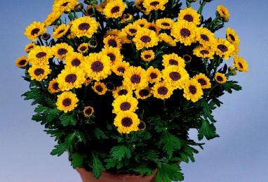 Topf-Chrysanthemen