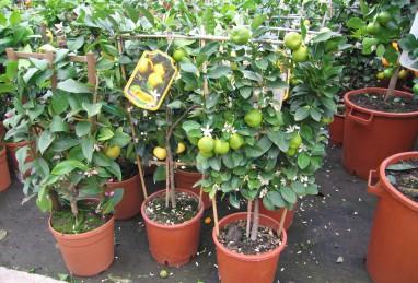 Citrus Spalier