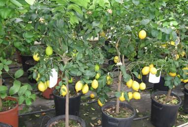 Citrus Stamm