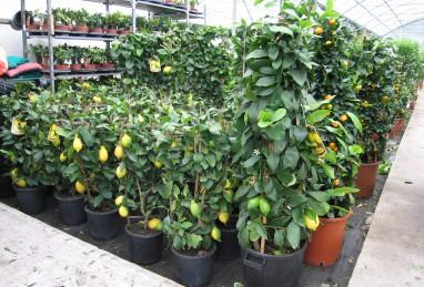 Citrus diverse Formen und Grössen
