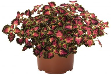 Coleus Great Falls Angel