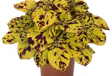 Coleus Stained Glassworks Presidio