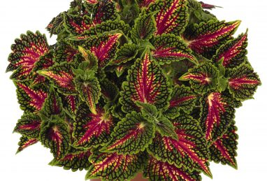 Coleus Stained Glassworks Spacecake