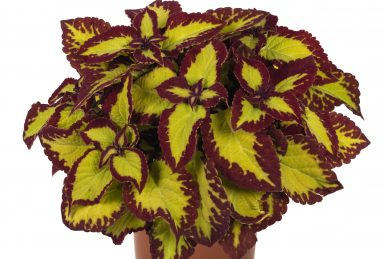 Coleus Stained Glassworks Velvet