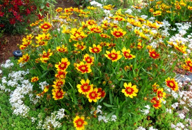 Coreopsis Daybreak (Little Bang Series)