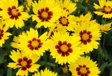Coreopsis grdfl. Sunkiss