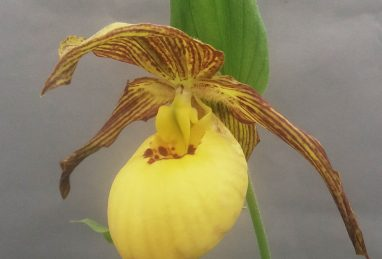Cypripedium Inge