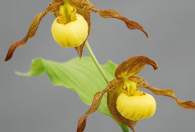 Cypripedium Kristi Lyn