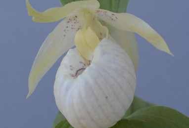 Cypripedium Lady Dorine