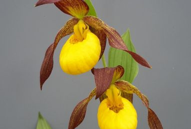 Cypripedium Lukas