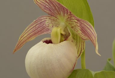 Cypripedium Tilman