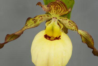 Cypripedium Victoria