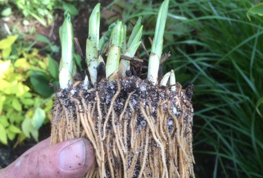 Cypripedium calceolus T12 Premium-Sortierung