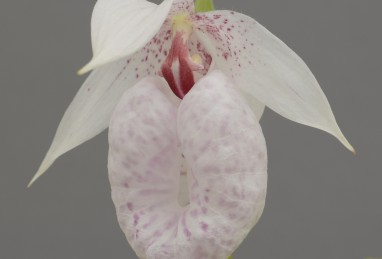 Cypripedium formosanum