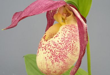 Cypripedium kentuckiense x rebunense