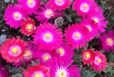 Delosperma Jewel of Desert Amethyst