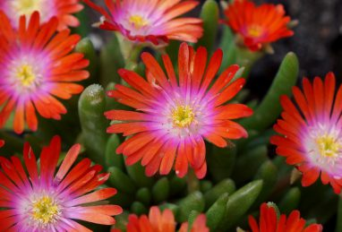 Delosperma Jewel of Desert Sunstone