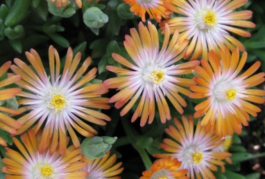 Delosperma Jewel of Desert Topaz