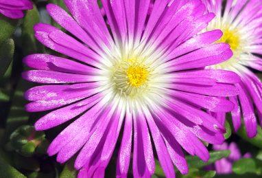 Delosperma WoW Purple