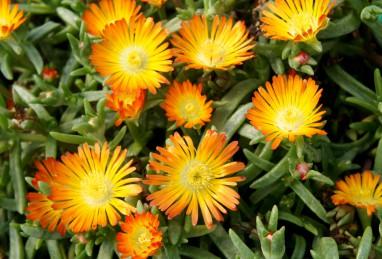Delosperma WoW Orange Wonder