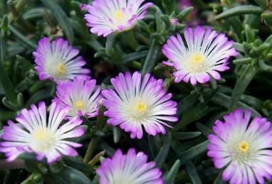 Delosperma WoW Violet Wonder