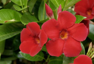 Mandevilla Diamantina Agathe Scarlet