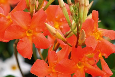 Mandevilla Diamantina Opale Orange Coral