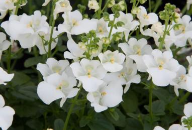 Diascia elegans Divara White