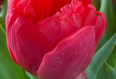 Tulpe Double Twist