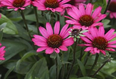 Echinacea Chunky Purple