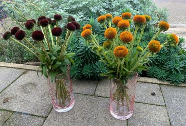 Echinacea Drumstick Yellow and Purple