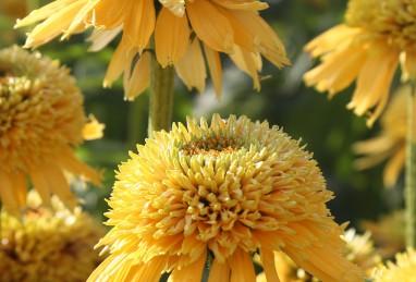 Echinacea Eccentric Yellow