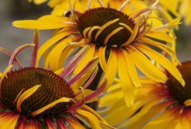 Echinacea Funky Yellow