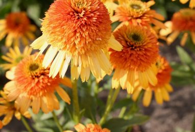 Echinacea Rhymes with Orange