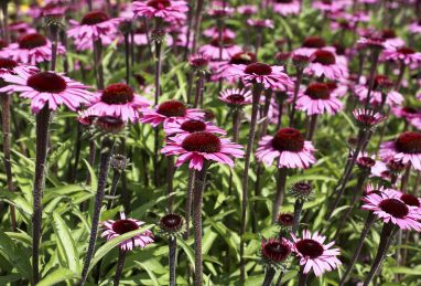 Echinacea Sensation Blackpearl