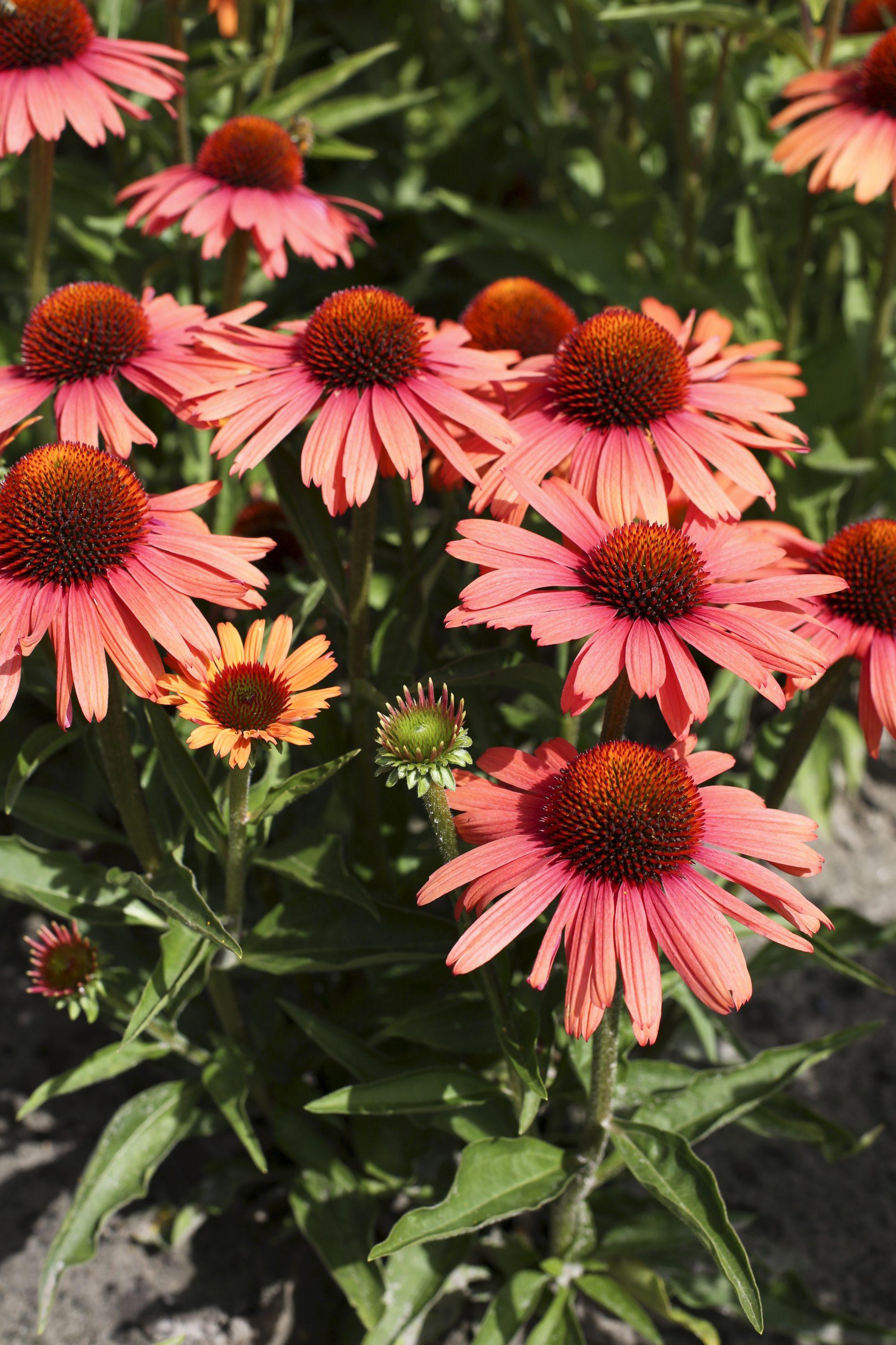 Kismet Red Echinacea 1x Staude Garten Pflanze Sonnenhut