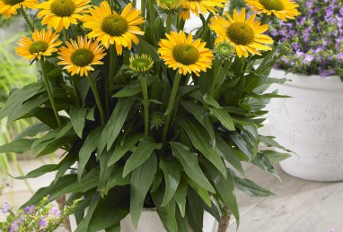 Echinacea SunSeekers Mellow