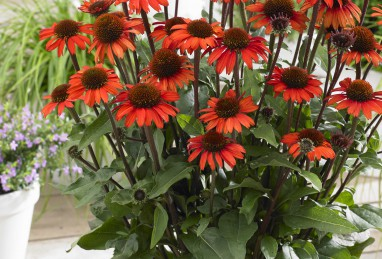 Echinacea  SunSeeker Orange