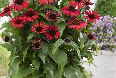 Echinacea  SunSeeker Red