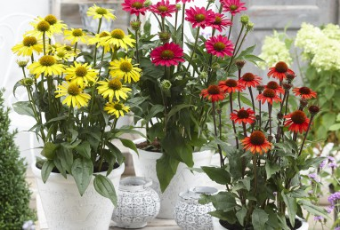 Echinacea SunSeeker-Serie