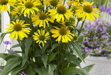 Echinacea SunSeeker Yellow