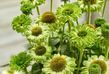 Echinacea SunSeekers Apple Green